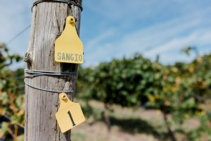 The Sangio Vineyard