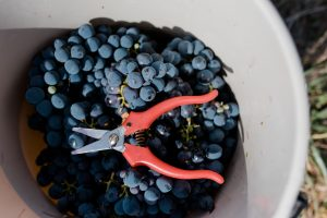 A bunch of grapes with a pair of secateurs