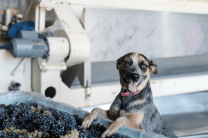 A smiling dog, beside a bin full of grapes